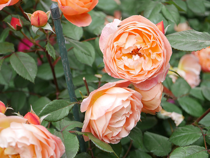 レディ・エマ・ハミルトン(Lady Emma Hamilton)の花がたくさん咲いた。木立バラ。2021年-051.jpg