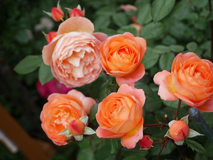 レディ・エマ・ハミルトン(Lady Emma Hamilton)の花がたくさん咲いた。木立バラ。2021年-052.jpg