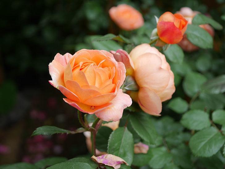 レディ・エマ・ハミルトン(Lady Emma Hamilton)の花がたくさん咲いた。木立バラ。2021年-053.jpg
