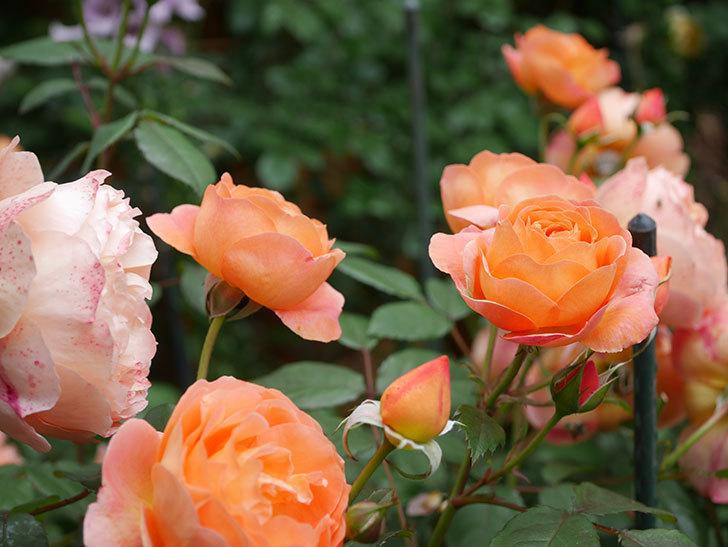 レディ・エマ・ハミルトン(Lady Emma Hamilton)の花がたくさん咲いた。木立バラ。2021年-054.jpg
