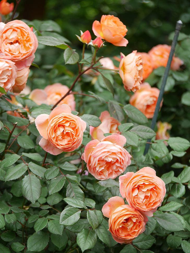レディ・エマ・ハミルトン(Lady Emma Hamilton)の花がたくさん咲いた。木立バラ。2021年-055.jpg