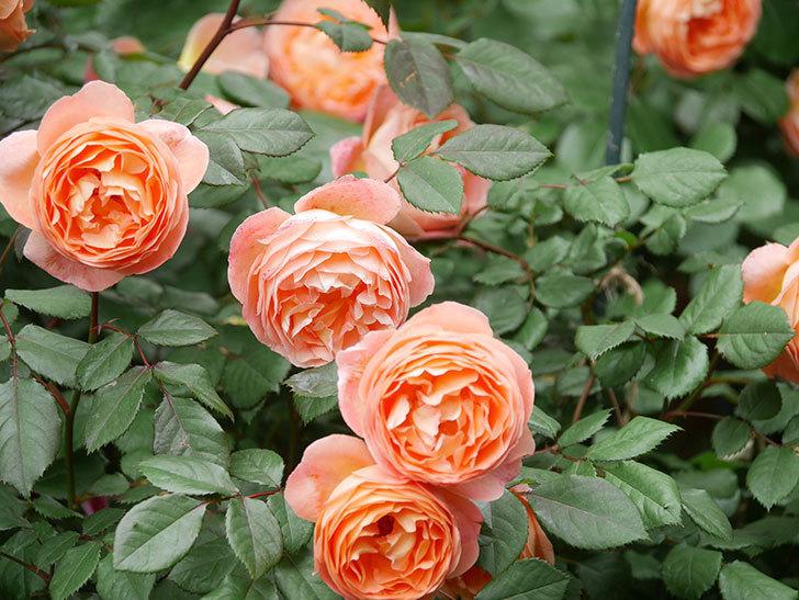 レディ・エマ・ハミルトン(Lady Emma Hamilton)の花がたくさん咲いた。木立バラ。2021年-056.jpg