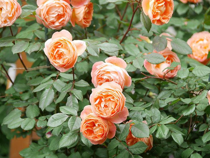 レディ・エマ・ハミルトン(Lady Emma Hamilton)の花がたくさん咲いた。木立バラ。2021年-057.jpg