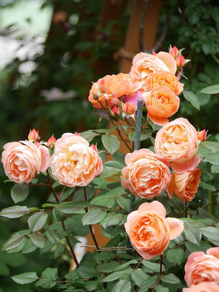 レディ・エマ・ハミルトン(Lady Emma Hamilton)の花がたくさん咲いた。木立バラ。2021年-058.jpg
