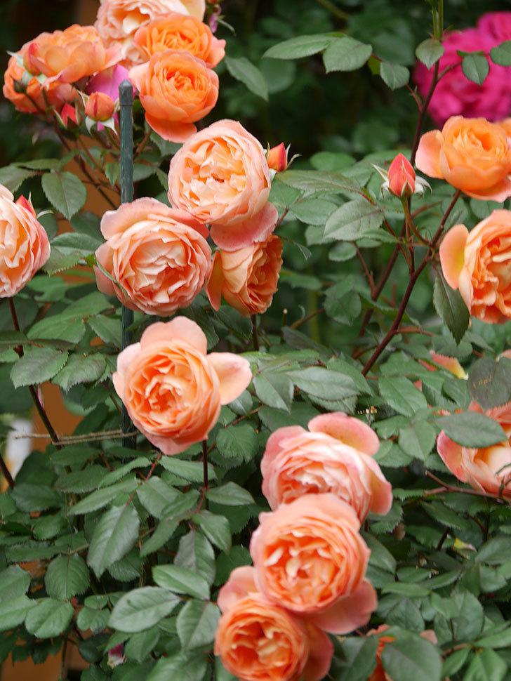 レディ・エマ・ハミルトン(Lady Emma Hamilton)の花がたくさん咲いた。木立バラ。2021年-059.jpg