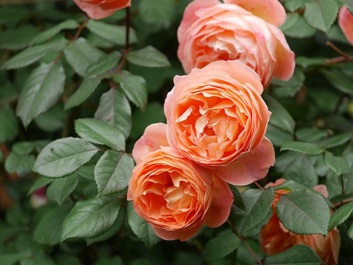 レディ・エマ・ハミルトン(Lady Emma Hamilton)の花がたくさん咲いた。木立バラ。2021年-060.jpg