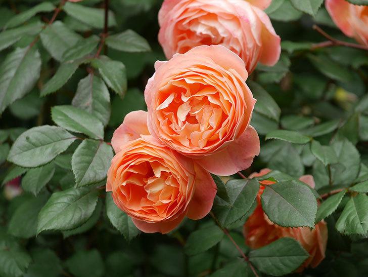 レディ・エマ・ハミルトン(Lady Emma Hamilton)の花がたくさん咲いた。木立バラ。2021年-061.jpg