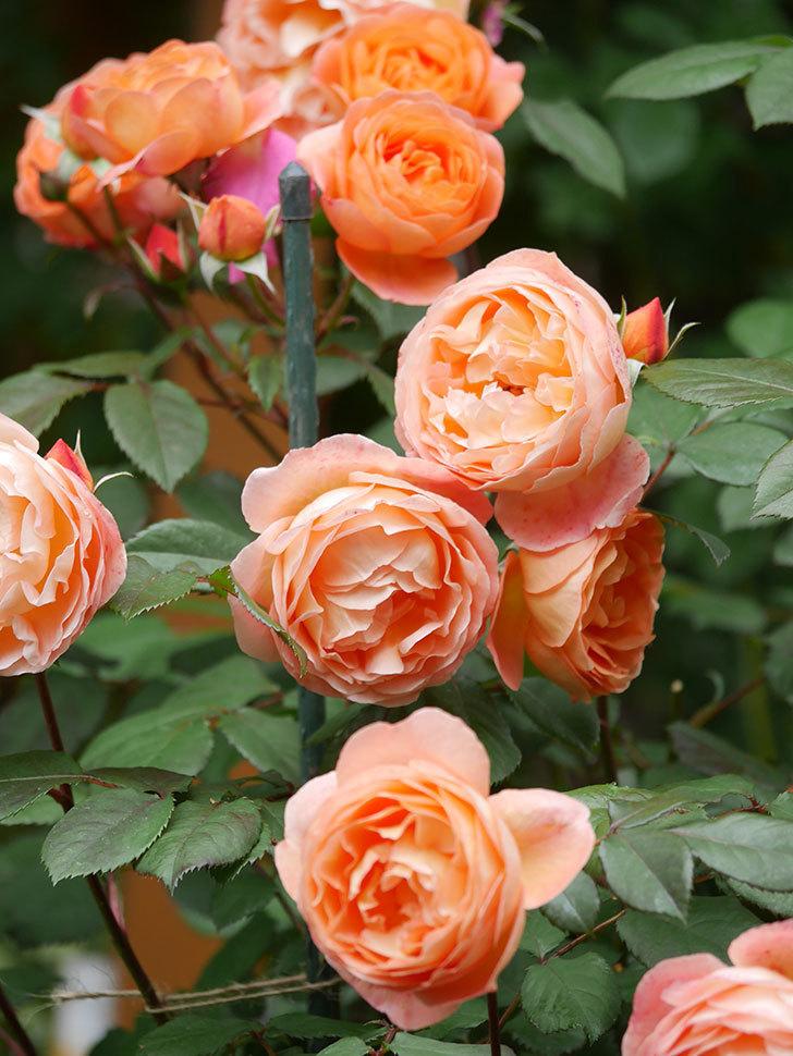 レディ・エマ・ハミルトン(Lady Emma Hamilton)の花がたくさん咲いた。木立バラ。2021年-062.jpg