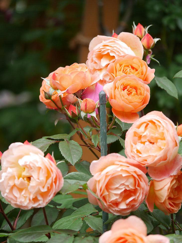 レディ・エマ・ハミルトン(Lady Emma Hamilton)の花がたくさん咲いた。木立バラ。2021年-063.jpg