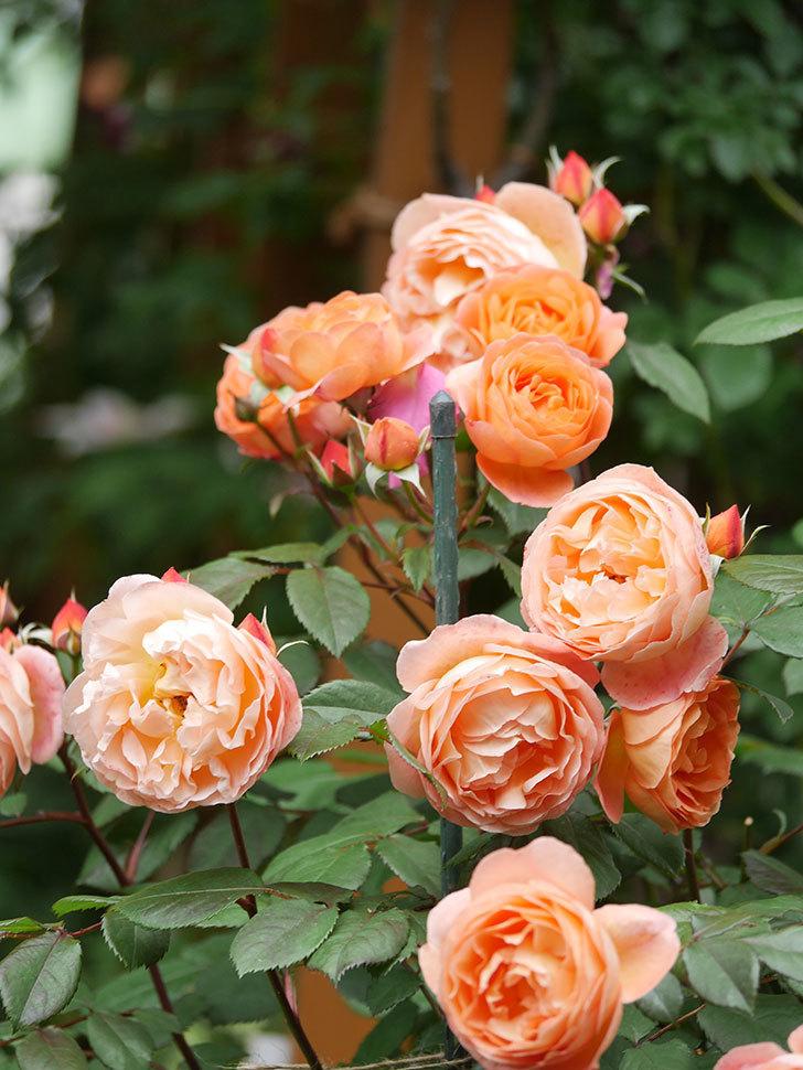 レディ・エマ・ハミルトン(Lady Emma Hamilton)の花がたくさん咲いた。木立バラ。2021年-064.jpg