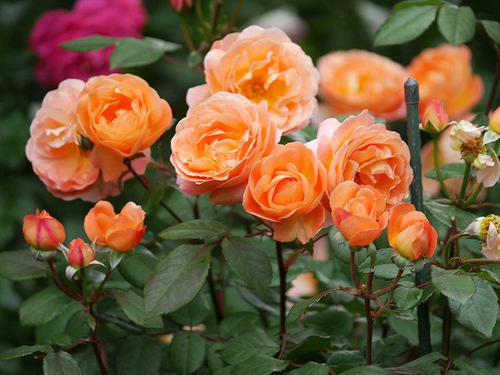 レディ・エマ・ハミルトン(Lady Emma Hamilton)の花がたくさん咲いた。木立バラ。2021年-065.jpg