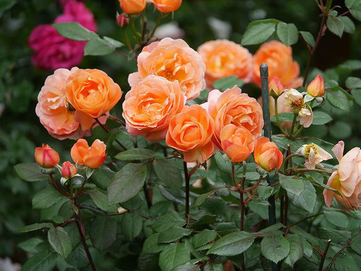 レディ・エマ・ハミルトン(Lady Emma Hamilton)の花がたくさん咲いた。木立バラ。2021年-066.jpg