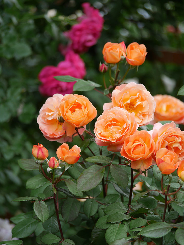 レディ・エマ・ハミルトン(Lady Emma Hamilton)の花がたくさん咲いた。木立バラ。2021年-067.jpg