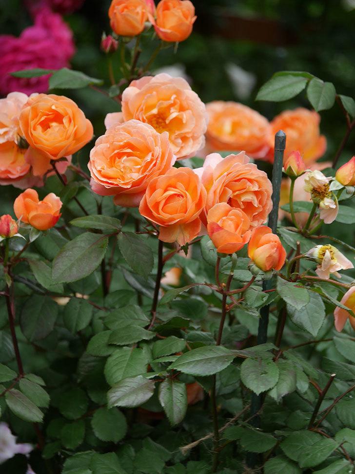 レディ・エマ・ハミルトン(Lady Emma Hamilton)の花がたくさん咲いた。木立バラ。2021年-068.jpg
