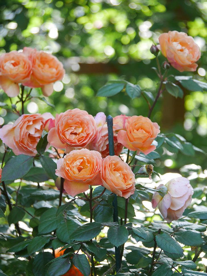 レディ・エマ・ハミルトン(Lady Emma Hamilton)の花がたくさん咲いた。木立バラ。2021年-069.jpg