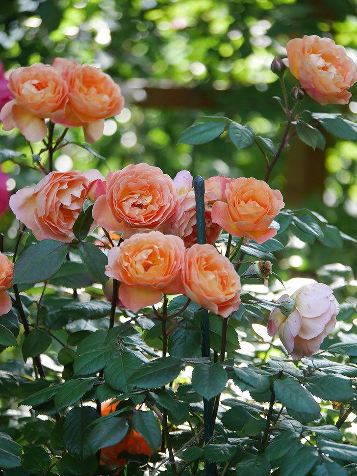レディ・エマ・ハミルトン(Lady Emma Hamilton)の花がたくさん咲いた。木立バラ。2021年-070.jpg