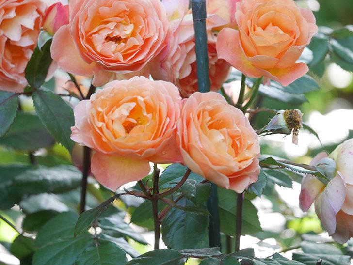 レディ・エマ・ハミルトン(Lady Emma Hamilton)の花がたくさん咲いた。木立バラ。2021年-071.jpg