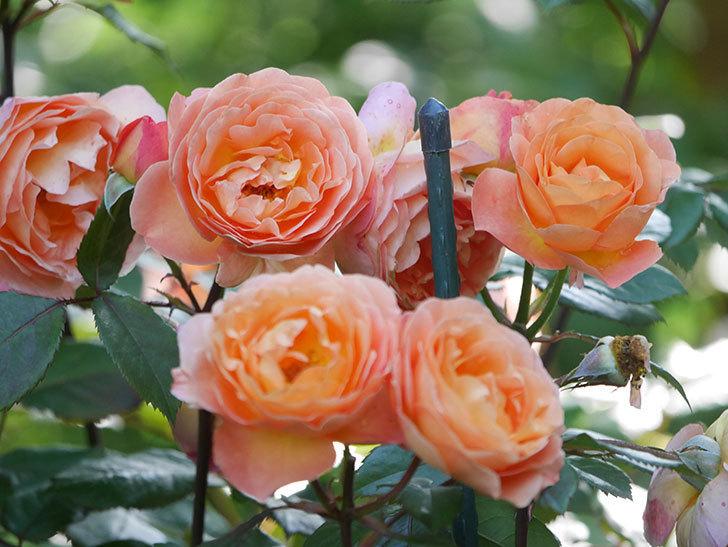 レディ・エマ・ハミルトン(Lady Emma Hamilton)の花がたくさん咲いた。木立バラ。2021年-072.jpg
