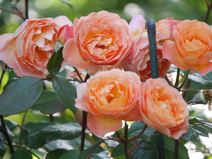 レディ・エマ・ハミルトン(Lady Emma Hamilton)の花がたくさん咲いた。木立バラ。2021年-073.jpg