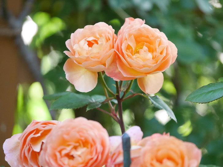 レディ・エマ・ハミルトン(Lady Emma Hamilton)の花がたくさん咲いた。木立バラ。2021年-074.jpg