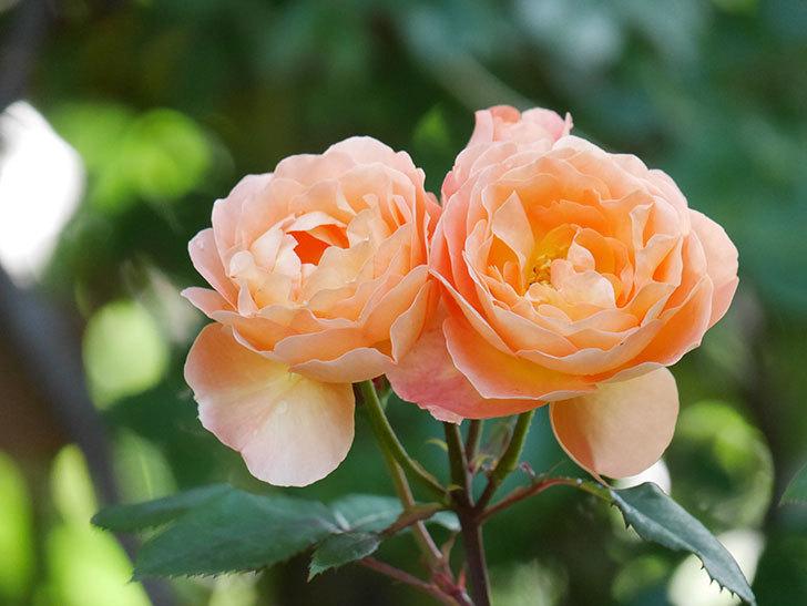 レディ・エマ・ハミルトン(Lady Emma Hamilton)の花がたくさん咲いた。木立バラ。2021年-075.jpg