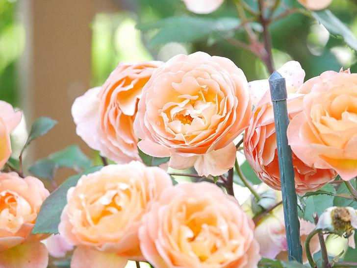 レディ・エマ・ハミルトン(Lady Emma Hamilton)の花がたくさん咲いた。木立バラ。2021年-076.jpg