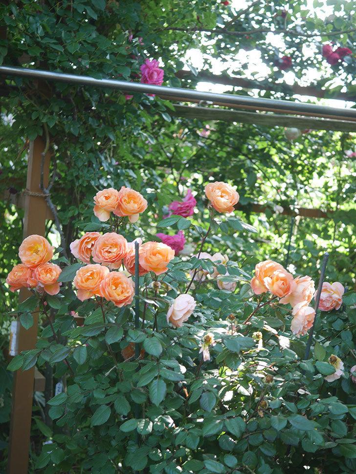 レディ・エマ・ハミルトン(Lady Emma Hamilton)の花がたくさん咲いた。木立バラ。2021年-077.jpg