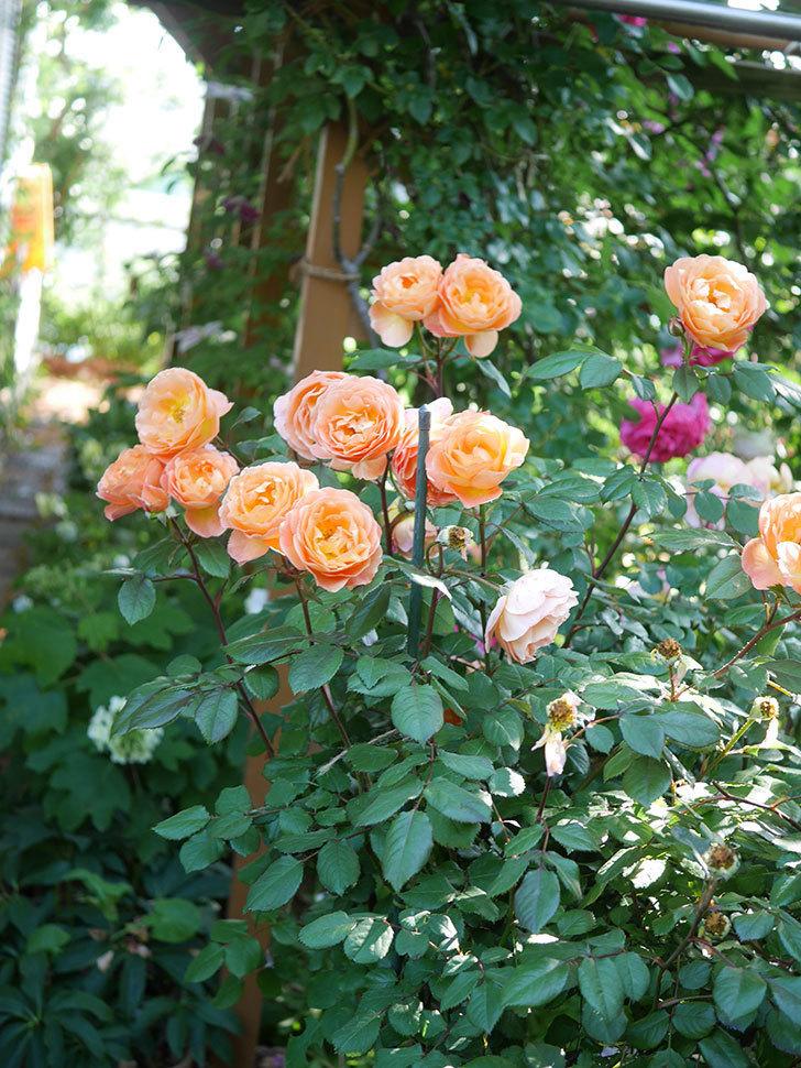 レディ・エマ・ハミルトン(Lady Emma Hamilton)の花がたくさん咲いた。木立バラ。2021年-078.jpg