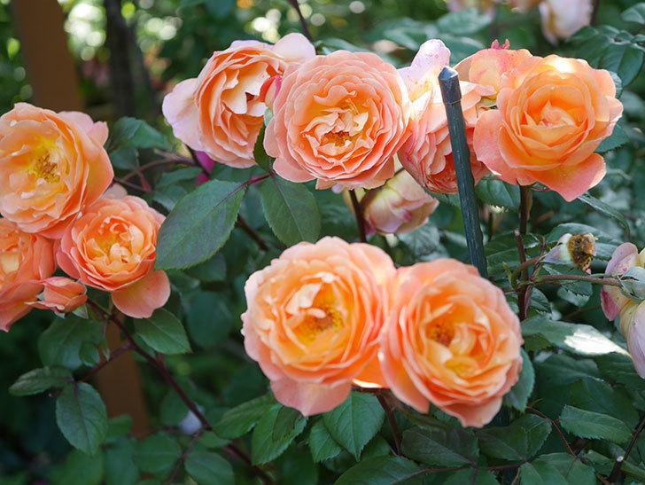 レディ・エマ・ハミルトン(Lady Emma Hamilton)の花がたくさん咲いた。木立バラ。2021年-079.jpg