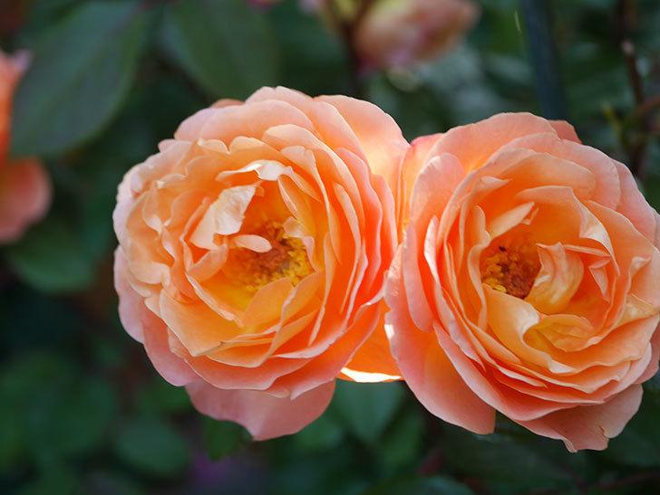 レディ・エマ・ハミルトン(Lady Emma Hamilton)の花がたくさん咲いた。木立バラ。2021年-080.jpg