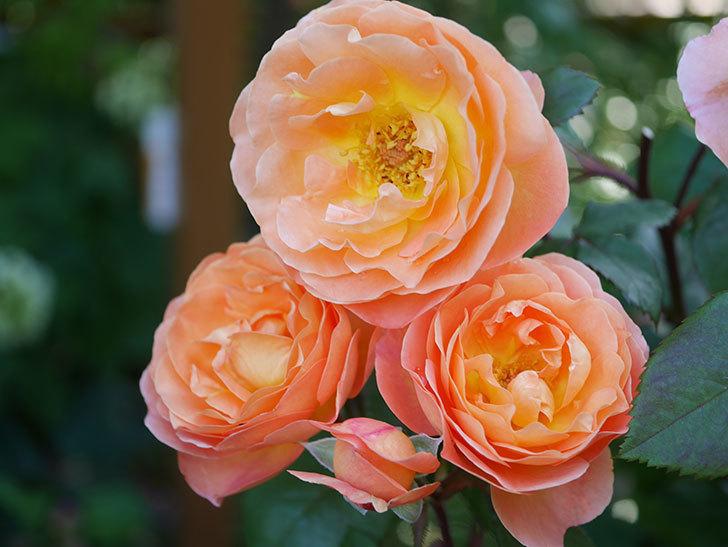 レディ・エマ・ハミルトン(Lady Emma Hamilton)の花がたくさん咲いた。木立バラ。2021年-081.jpg