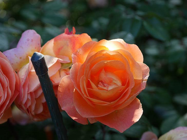レディ・エマ・ハミルトン(Lady Emma Hamilton)の花がたくさん咲いた。木立バラ。2021年-082.jpg