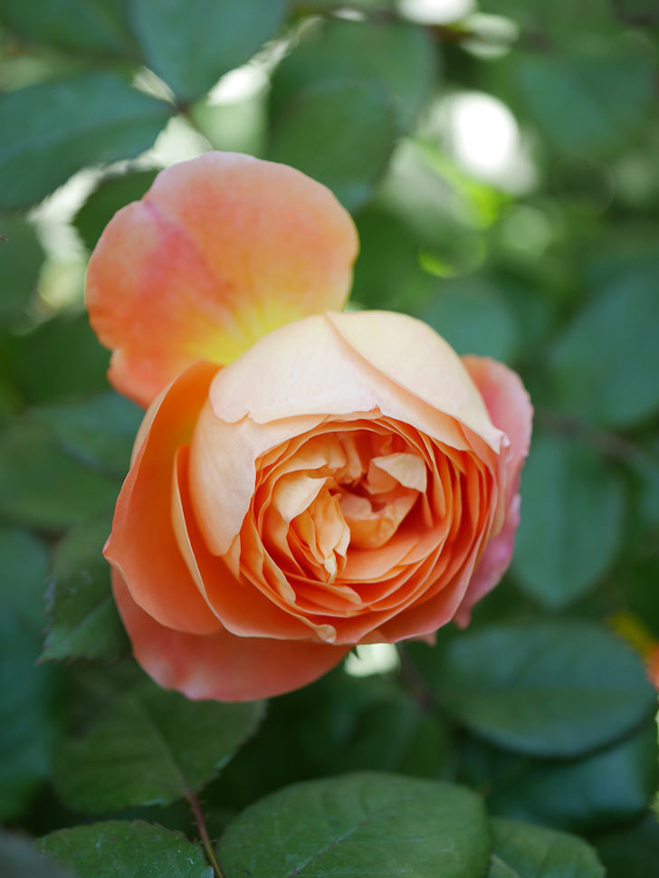 レディ・エマ・ハミルトン(Lady Emma Hamilton)の花が咲いた。木立バラ。2021年-016.jpg