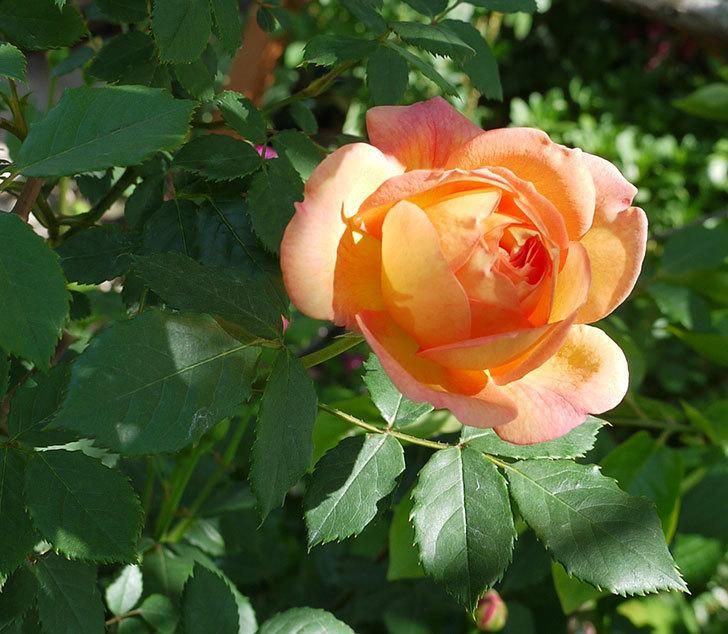 レディ・オブ・シャーロット(ツルバラ)が咲いた。2017年-1.jpg