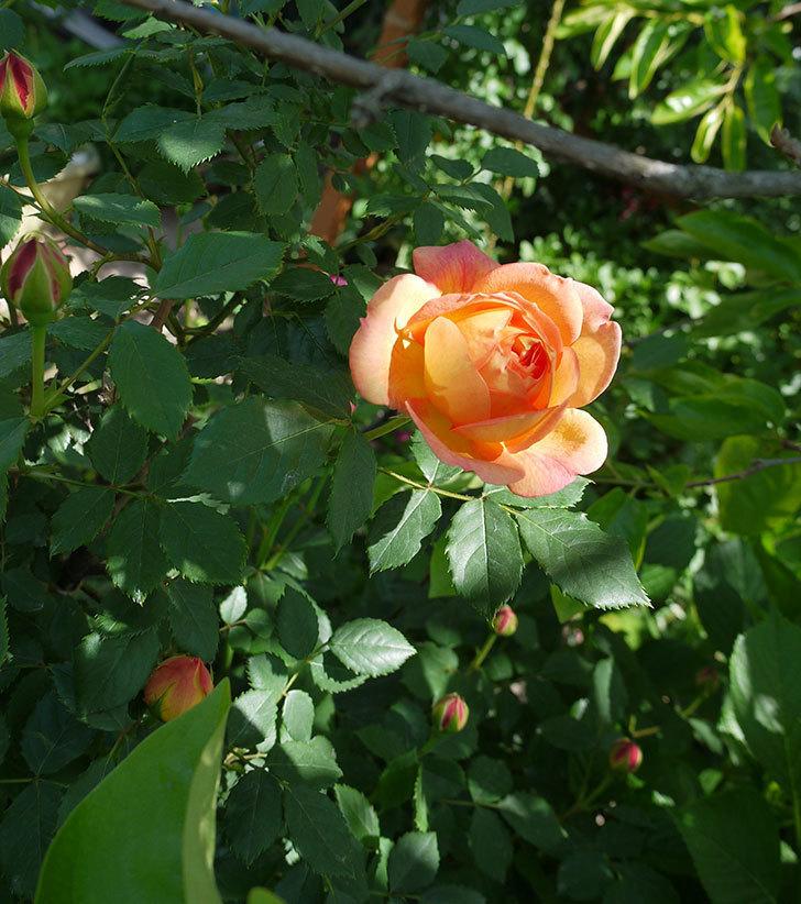 レディ・オブ・シャーロット(ツルバラ)が咲いた。2017年-3.jpg
