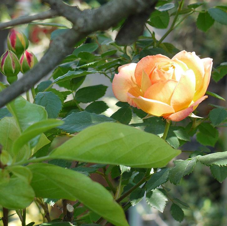 レディ・オブ・シャーロット(ツルバラ)が咲いた。2017年-5.jpg