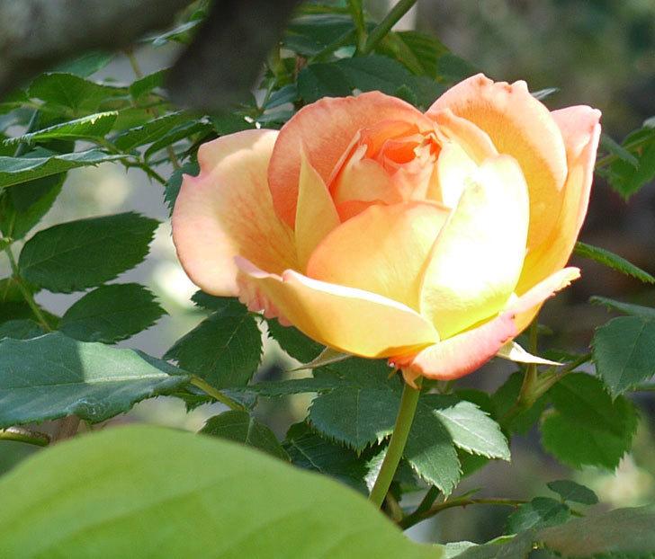 レディ・オブ・シャーロット(ツルバラ)が咲いた。2017年-6.jpg
