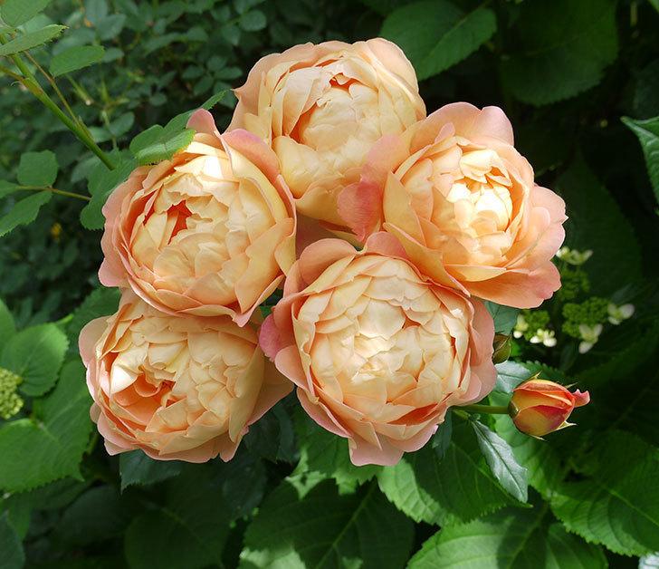 レディ・オブ・シャーロット(ツルバラ)が房で咲いた。2017年-1.jpg
