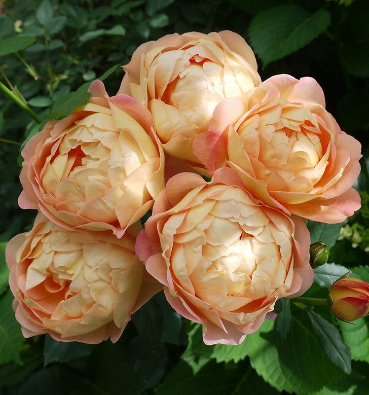 レディ・オブ・シャーロット(ツルバラ)が房で咲いた。2017年-2.jpg