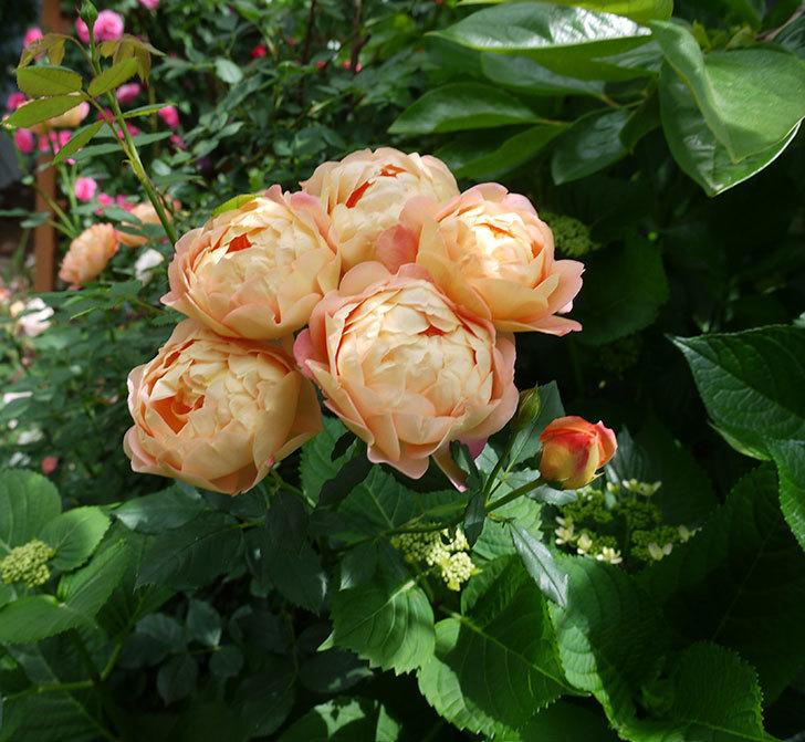 レディ・オブ・シャーロット(ツルバラ)が房で咲いた。2017年-3.jpg