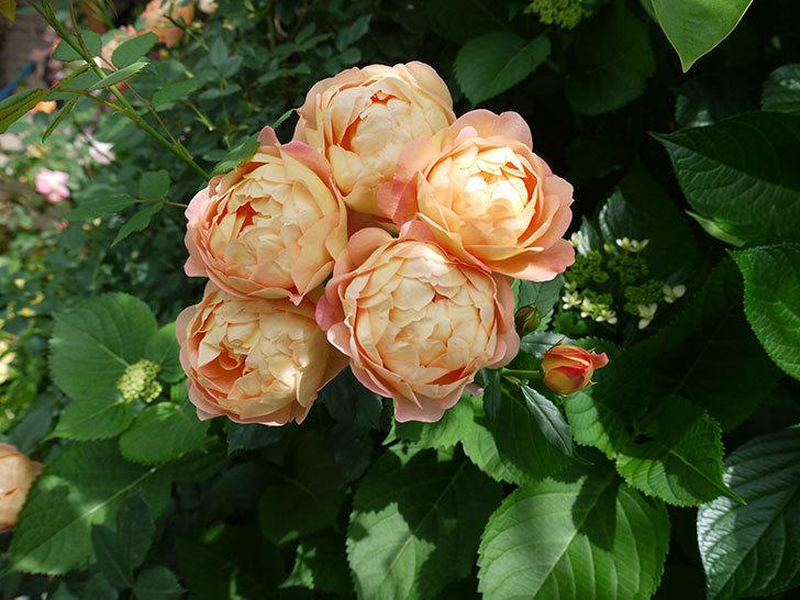 レディ・オブ・シャーロット(ツルバラ)が房で咲いた。2017年-4.jpg