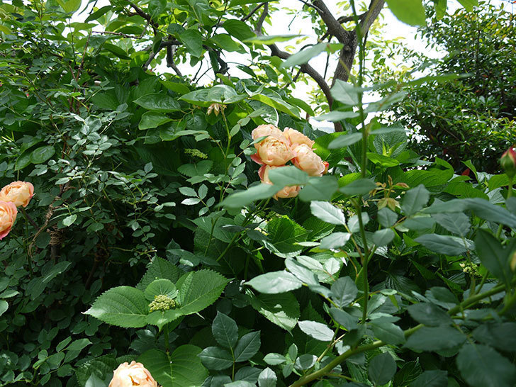 レディ・オブ・シャーロット(ツルバラ)が房で咲いた。2017年-5.jpg