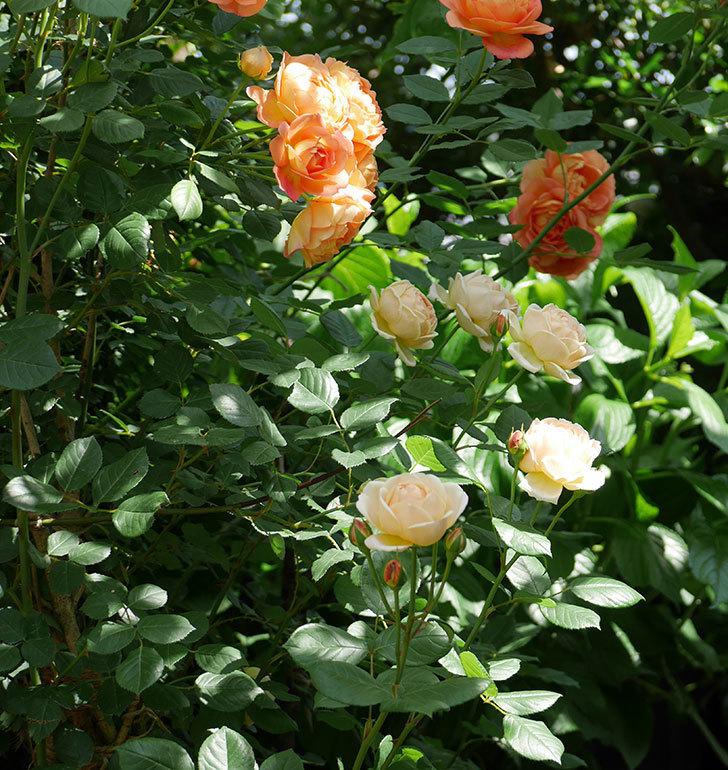 レディ・オブ・シャーロット(ツルバラ)が房で咲いた。2018年-10.jpg