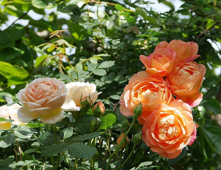 レディ・オブ・シャーロット(ツルバラ)が房で咲いた。2018年-14.jpg