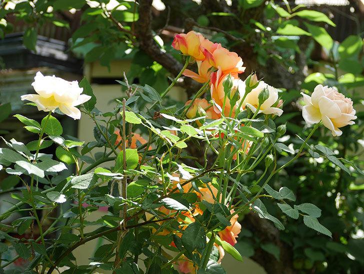 レディ・オブ・シャーロット(ツルバラ)が房で咲いた。2018年-15.jpg