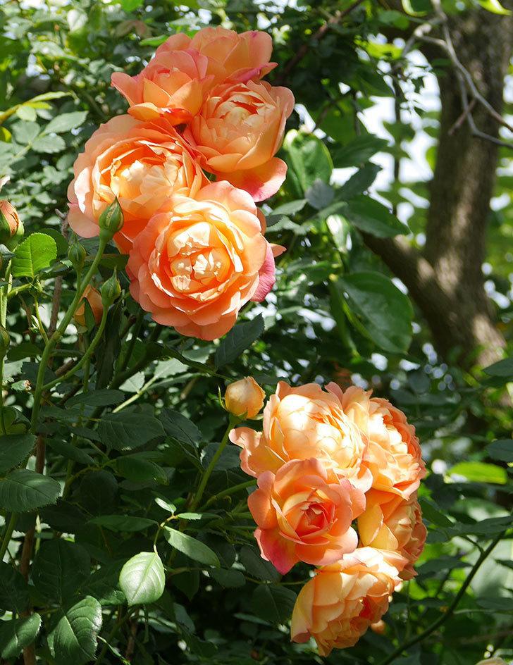 レディ・オブ・シャーロット(ツルバラ)が房で咲いた。2018年-2.jpg