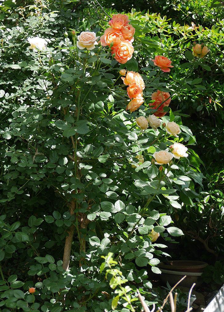 レディ・オブ・シャーロット(ツルバラ)が房で咲いた。2018年-3.jpg