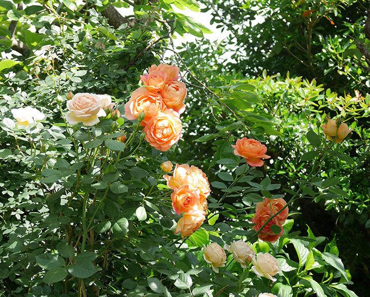 レディ・オブ・シャーロット(ツルバラ)が房で咲いた。2018年-4.jpg