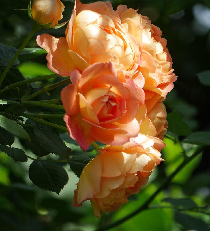 レディ・オブ・シャーロット(ツルバラ)が房で咲いた。2018年-7.jpg