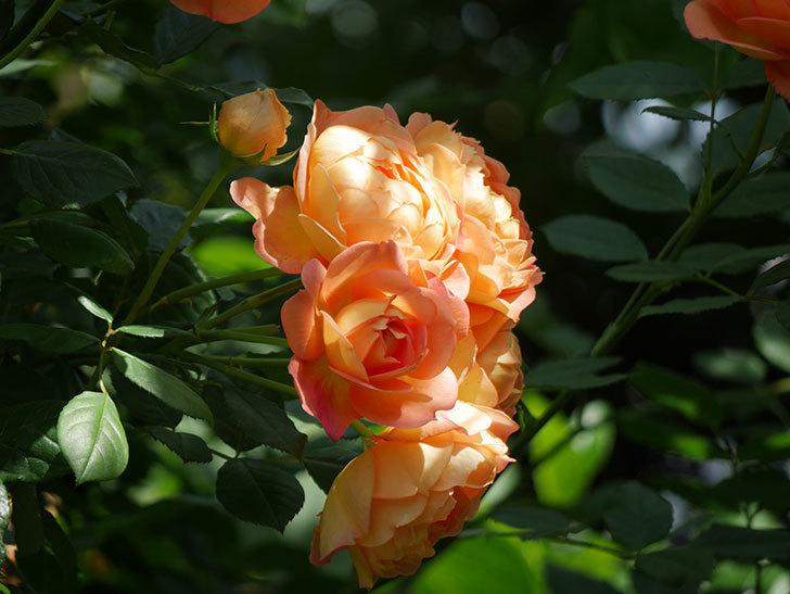 レディ・オブ・シャーロット(ツルバラ)が房で咲いた。2018年-8.jpg
